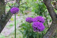 βοοειδών Allium Ιώδες τόξο Κήπος στοκ εικόνα με δικαίωμα ελεύθερης χρήσης