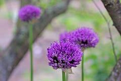 βοοειδών Allium Ιώδες τόξο Κήπος στοκ εικόνες με δικαίωμα ελεύθερης χρήσης