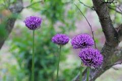 βοοειδών Allium Ιώδες τόξο Κήπος στοκ φωτογραφία με δικαίωμα ελεύθερης χρήσης