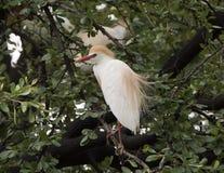 Βοοειδές-τσικνιάς που σκαρφαλώνει σε ένα δέντρο στοκ φωτογραφία