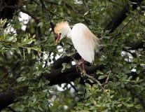 Βοοειδές-τσικνιάς που σκαρφαλώνει σε ένα δέντρο Στοκ εικόνες με δικαίωμα ελεύθερης χρήσης