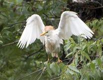 Βοοειδές-τσικνιάς που σκαρφαλώνει στο δέντρο με τα φτερά εκτεταμένα στοκ εικόνες