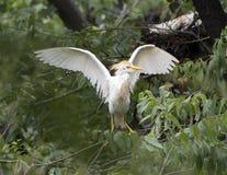 Βοοειδές-τσικνιάς που σκαρφαλώνει στο δέντρο με τα φτερά εκτεταμένα στοκ φωτογραφίες