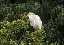 Βοοειδές-τσικνιάς που σκαρφαλώνει treetop στοκ εικόνα