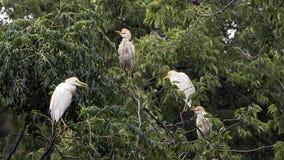 Βοοειδές-τσικνιάς τέσσερα που σκαρφαλώνει treetop στοκ εικόνες