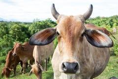 Βοοειδή βόειου κρέατος αγελάδων Στοκ εικόνες με δικαίωμα ελεύθερης χρήσης