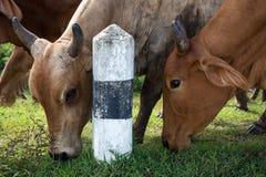 Βοοειδή βόειου κρέατος αγελάδων Στοκ Εικόνες