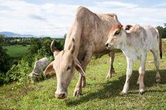 Βοοειδή βόειου κρέατος αγελάδων Στοκ φωτογραφίες με δικαίωμα ελεύθερης χρήσης