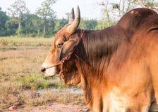 Βοοειδή βόειου κρέατος ταύρων Στοκ εικόνες με δικαίωμα ελεύθερης χρήσης