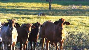 Βοοειδή βόειου κρέατος απόθεμα βίντεο