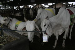 Βοοειδή και κλουβιά αγελάδων Στοκ εικόνες με δικαίωμα ελεύθερης χρήσης
