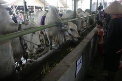 Βοοειδή και κλουβιά αγελάδων Στοκ Εικόνα
