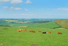 Βοοειδή και τοπίο της Northumberland κοντά σε Belford, Wooler Στοκ εικόνα με δικαίωμα ελεύθερης χρήσης