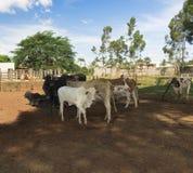 Βοοειδή - ομάδα αγελάδων στο αγρόκτημα Στοκ Φωτογραφίες