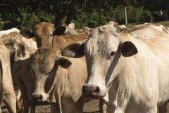 Βοοειδή - ομάδα αγελάδων στο αγρόκτημα Στοκ Εικόνες