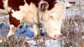 Βοοειδή ορεινών περιοχών που ψάχνουν τα τρόφιμα το χειμώνα φιλμ μικρού μήκους