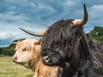 Βοοειδή ορεινών περιοχών Στοκ εικόνες με δικαίωμα ελεύθερης χρήσης