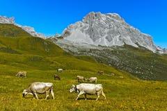 Βοοειδή σε ένα λιβάδι βουνών Στοκ Εικόνες