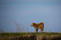 Βοοειδή στα λιβάδια Στοκ Εικόνες