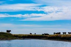 Βοοειδή στα λιβάδια Στοκ Φωτογραφίες