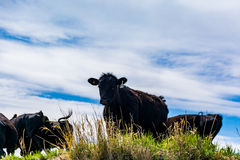 Βοοειδή στα λιβάδια Στοκ Εικόνα