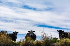 Βοοειδή στα λιβάδια Στοκ εικόνες με δικαίωμα ελεύθερης χρήσης