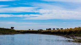 Βοοειδή στα λιβάδια Στοκ εικόνα με δικαίωμα ελεύθερης χρήσης