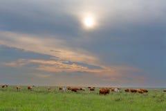 Βοοειδή στα πράσινα λιβάδια Στοκ Φωτογραφίες