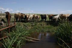 Βοοειδή στην τρύπα νερού Στοκ Φωτογραφίες