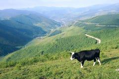 Βοοειδή στο βουνό στοκ εικόνα με δικαίωμα ελεύθερης χρήσης