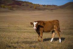 Βοοειδή στο λιβάδι Στοκ Εικόνες