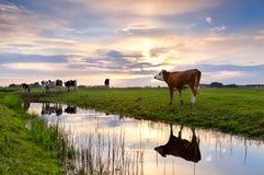 Βοοειδή στο λιβάδι και ποταμός στο ηλιοβασίλεμα Στοκ Φωτογραφία