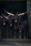 Βοοειδή τέσσερα ankole-Watusi που κοιτάζουν επίμονα έξω από τη σιταποθήκη Στοκ εικόνες με δικαίωμα ελεύθερης χρήσης