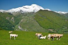 Βοοειδή την άνοιξη Πυρηναία Στοκ Φωτογραφία