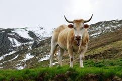 Βοοειδή την άνοιξη Πυρηναία Στοκ εικόνα με δικαίωμα ελεύθερης χρήσης
