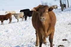 Βοοειδή το χειμώνα Στοκ Εικόνα