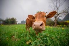 βοοειδή Στοκ Εικόνα