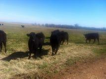 βοοειδή στοκ φωτογραφία με δικαίωμα ελεύθερης χρήσης