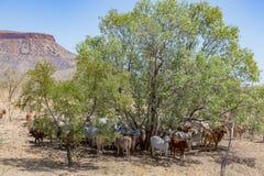 Βοοειδή Brahman που στηρίζονται στη σκιά στο πόδι της σειράς Cockburn, σταθμός EL Questro στοκ φωτογραφίες