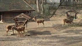 Βοοειδή Deers απόθεμα βίντεο