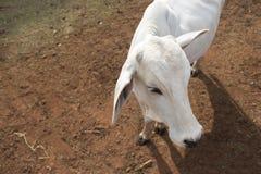 Βοοειδή Nelore στο αγρόκτημα, εικόνα έννοιας Στοκ εικόνες με δικαίωμα ελεύθερης χρήσης