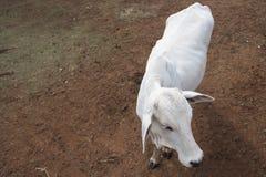 Βοοειδή Nelore στο αγρόκτημα, εικόνα έννοιας Στοκ Εικόνα