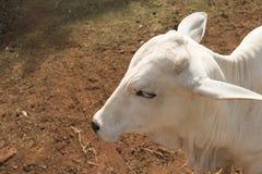 Βοοειδή Nelore στο αγρόκτημα, εικόνα έννοιας Στοκ φωτογραφία με δικαίωμα ελεύθερης χρήσης