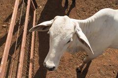 Βοοειδή Nelore στο αγρόκτημα, εικόνα έννοιας Στοκ φωτογραφίες με δικαίωμα ελεύθερης χρήσης