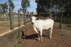 Βοοειδή Nelore στο αγρόκτημα Στοκ φωτογραφίες με δικαίωμα ελεύθερης χρήσης