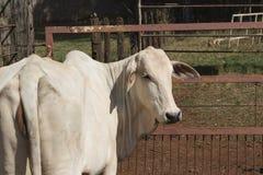 Βοοειδή Nelore στο αγρόκτημα Στοκ φωτογραφία με δικαίωμα ελεύθερης χρήσης