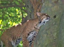 Βορειοαμερικανικά λυγξ Rufus Bobcat στοκ φωτογραφία