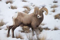 Βορειοαμερικανικά μεγάλα πρόβατα κέρατων Στοκ Φωτογραφία