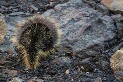 Βορειοαμερικανικά Porcupine & x28 Erethizon dorsatum& x29  Στοκ Εικόνες