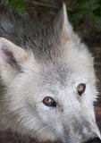 Βορειοαμερικανικός αρκτικός λύκος Στοκ Εικόνες